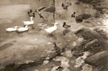 DucksOnIce.JPG